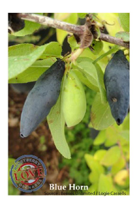 Camerisier Blue Horn