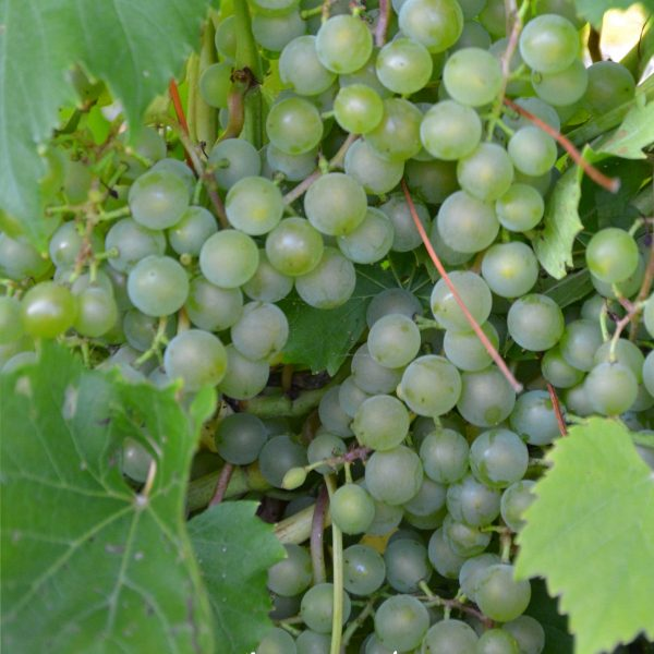 Vine Osceola Muscat - Végétolab inc  - Seller of fruit shrubs